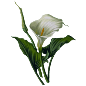 Image of arum lily.